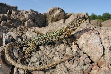 Wall lizard (Podarcis muralis) and his natural habitat