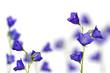 campanula flowers on white background