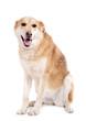 chien femelle assis sur fond blanc