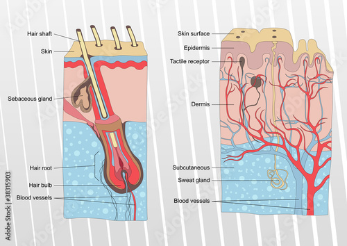 Human skin and hair anatomy illustration background vector
