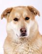 portrait d'un chien croisé