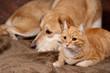 chat roux et chien