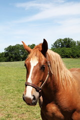 Portrait Of Chestnut Horse Head In Halter