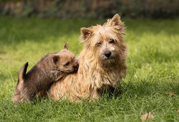 Dog puppy and mum