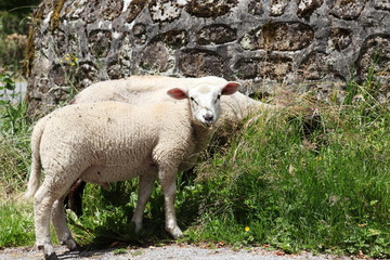 Sheep Grazing Near Stone Wall