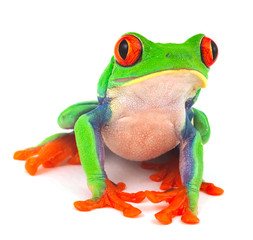 red eye treefrog