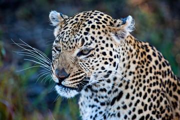 Leopard (Panthera pardus) in the Okavango Delta, Botswana