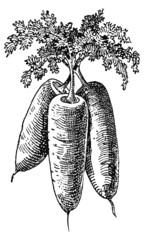 Trois carottes
