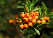 Owoce ognika szkarłatnego
