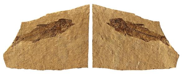 Limestone Fossil Fish of Bolca - Verona - Italy