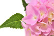 Beautiful Pink Hydrangea Flowers with Green Leaves on White