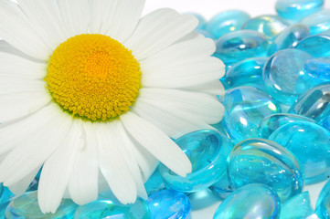 Beautiful White Camomile Flower on Blue Glass Stones