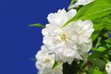 Beautiful White Philadelphus (Mock Orange) Flowers over Blue Sky poster