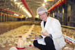 Veterinarian working on chicken farm
