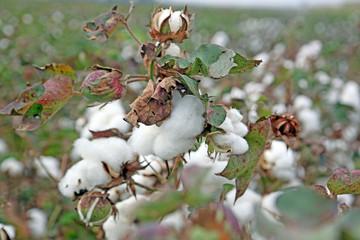 Cotton field
