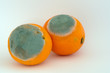 Two moldy oranges