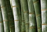 Fototapeta Giant bamboo.