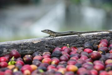 Lizard and fresh coffe grain