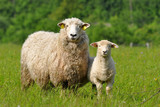 Fototapeta owca - młody - Zwierzę Hodowlane