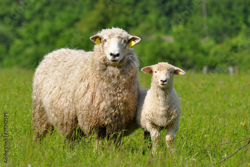Canvas Schapen sheep and lamb