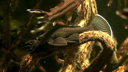 fish Echeneidae