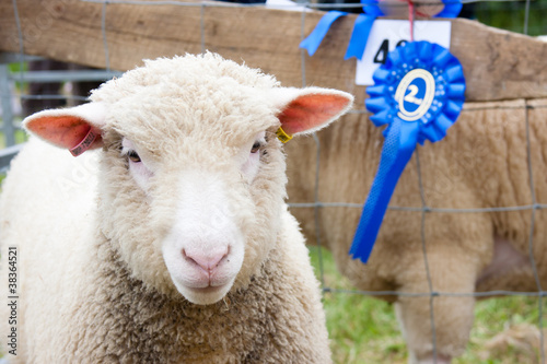 Canvas Schapen prize winning sheep at agricultural show with rosette