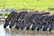 Fototapeten,trinken,synchron,zebra,zebra