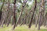 pine forest in the resort nea sea