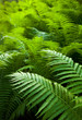 Bright green forest of ferns