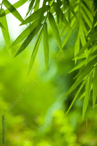 liscie-bambusa
