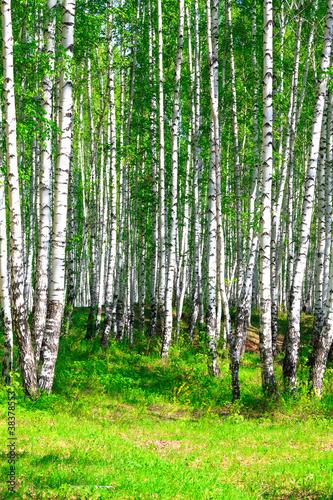brzozowy-las
