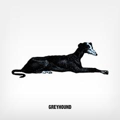 Engraving vintage Dog Greyhound.