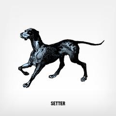 Engraving vintage Dog Setter.