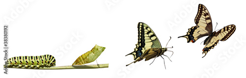 Deurstickers Vlinder Metamorphosis of the European Swallowtail