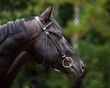 Portrait of a black thoroughbred stallion.