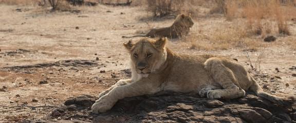 leoni cuccioli