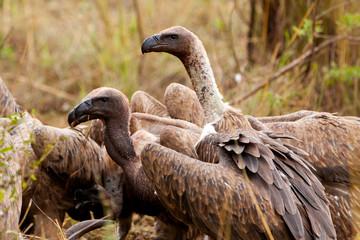 Ruppells griffon vultures, Maasai Mara Game Reserve, Kenya