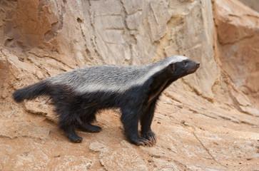 A honey badger (Mellivora capensis)