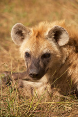 Portrait of a young spotted hyaena