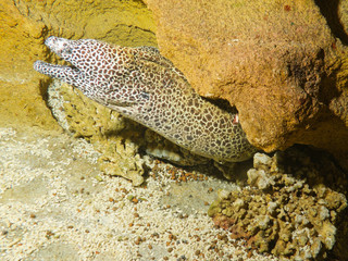 Laced, honeycomb, tesselate moray (Gymnothorax favagineus)