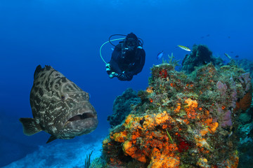 Huge Black Grouper and Scuba Diver over a Coral Reef - Cozumel