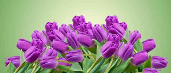 Lila Tulpen auf Grün