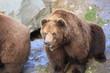 Kodiakbär in Nahaufnahme