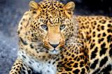 Leopard - Fine Art prints
