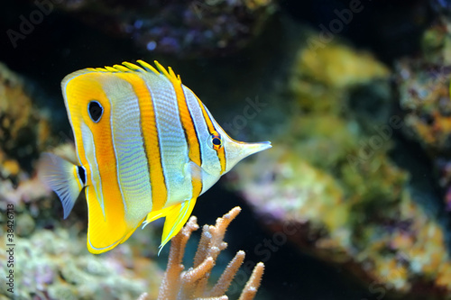 Tropical fish chelmon rostratus