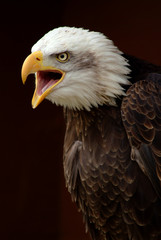 Bald Eagle calling 02
