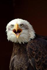 Bald Eagle calling