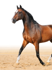 Bay Trakehner stallion trot on arena