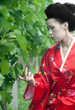 Geisha in vineyard