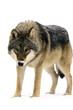 Gray wolf (Canis lupus) isolated